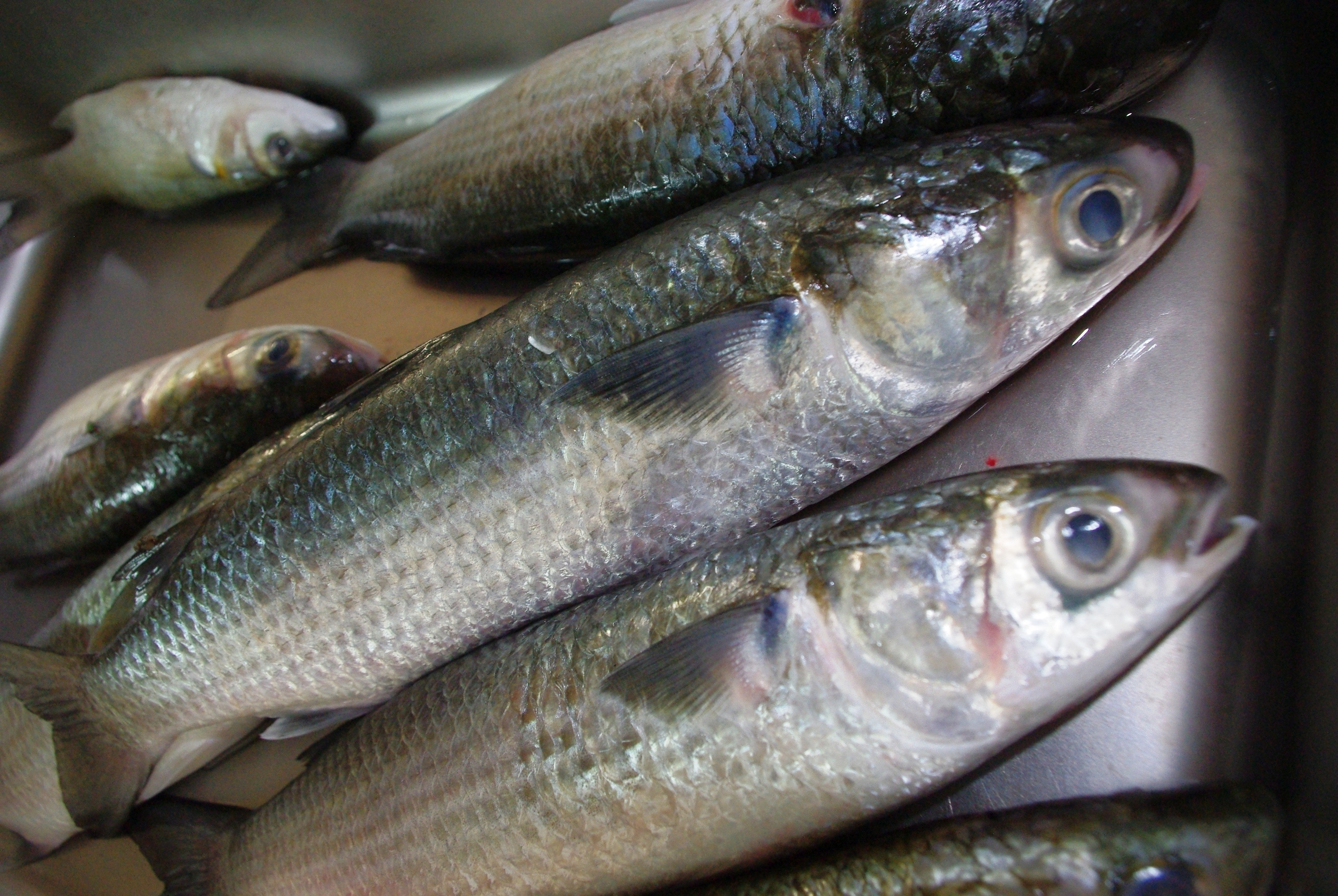 Bait our services about swan boat hire for Mullet fish bait