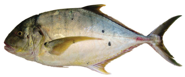 golden_trevally-gnathanodon-speciosus
