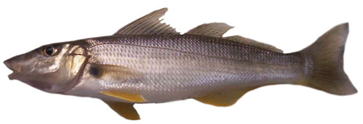 sand-whiting-sillago-ciliata