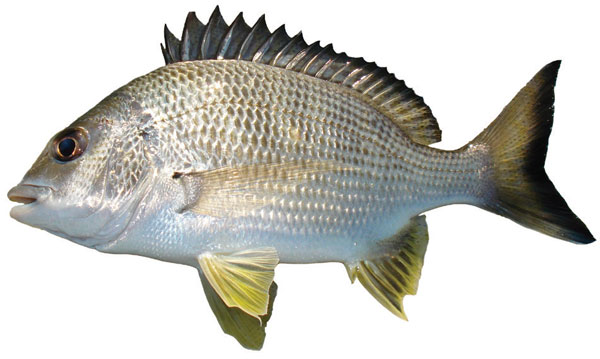 yellowfin-bream-acanthopagrus-australis